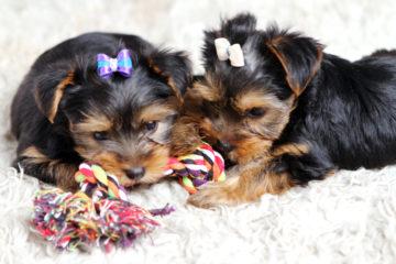 benefícios dos brinquedos para a saúde dos pets